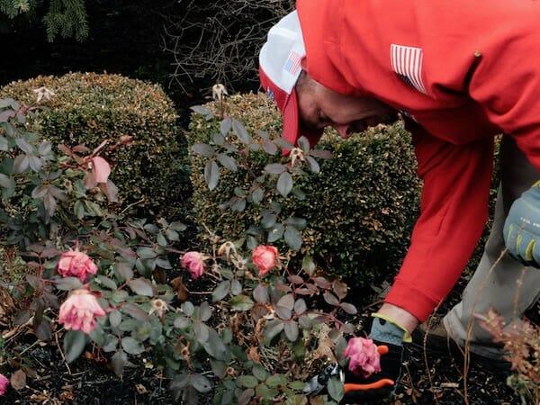 Pruning rosebush