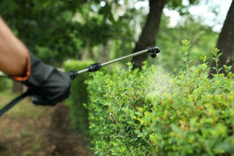 spraying bushes